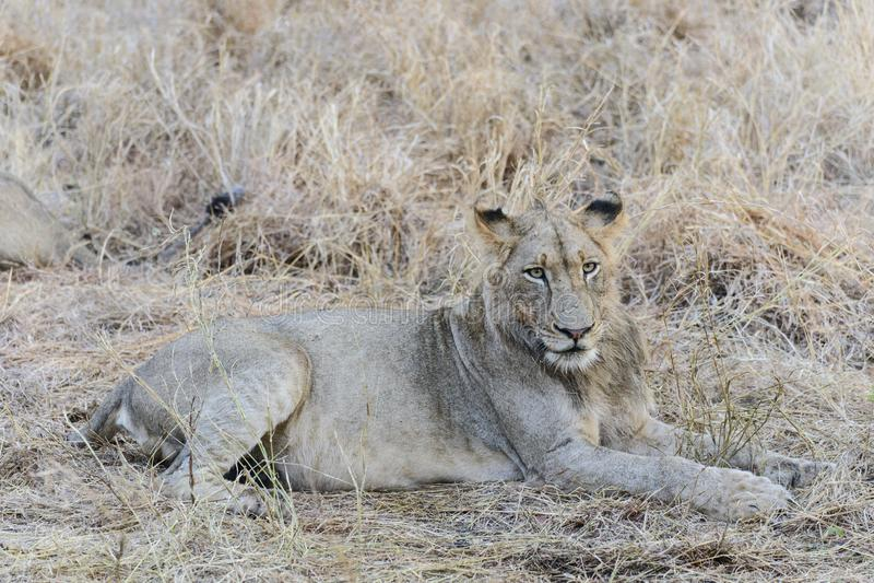 Ett Afrika lejon royaltyfri fotografi