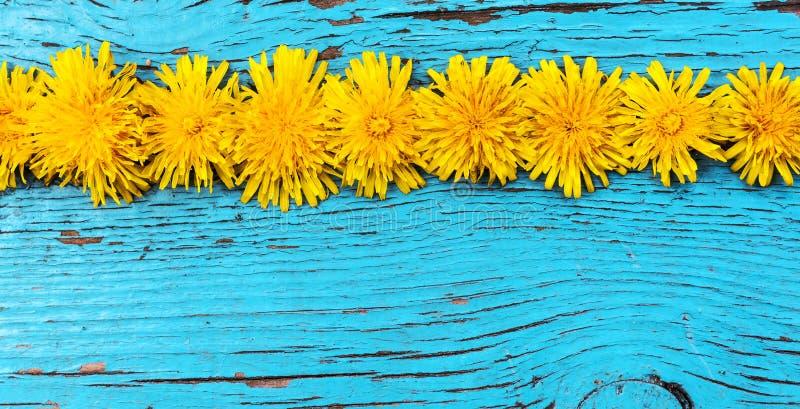 Ett antal gula maskrosor och blå träbakgrund royaltyfria bilder