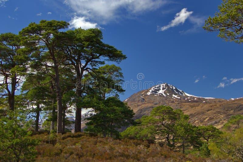 Ett av sista stycken av den caledonian skogen, gammalt enormt sörjer och det forestless berget, Skottland royaltyfri fotografi