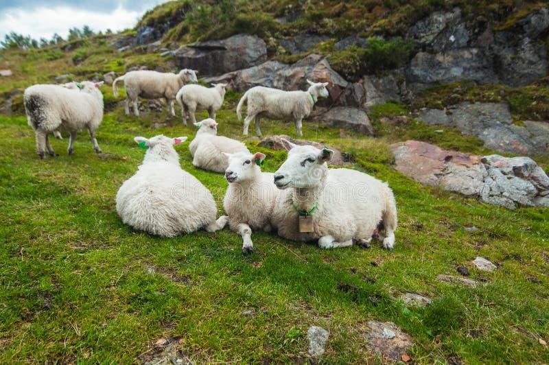 Ett avkopplat norskt får flockas att ligga på gräset arkivfoto