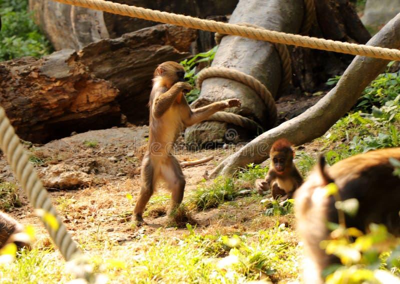 Ett ett barn av mandrillen Honom som spelar med den lilla brodern på rep och på stammar Han står på två ben och med att vinka för royaltyfria foton