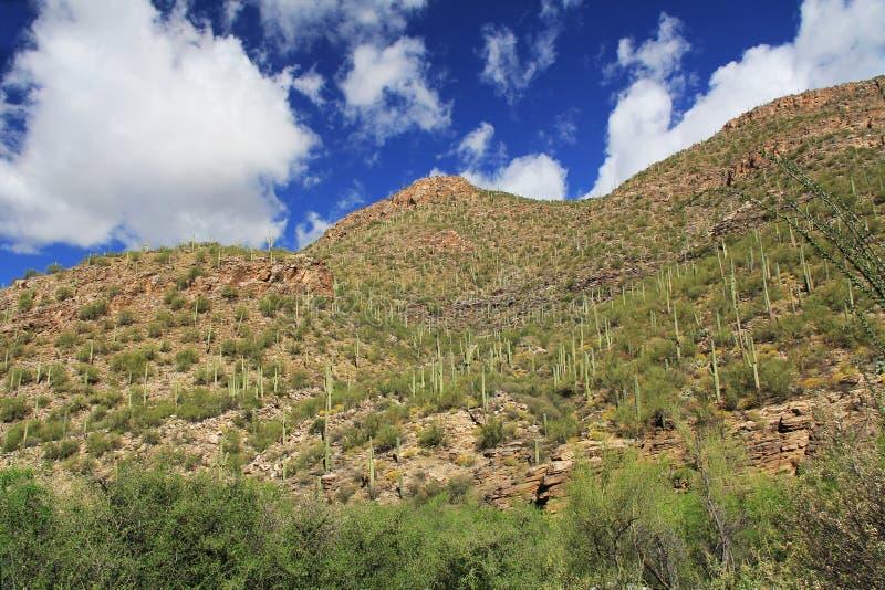 Ett berg av saguaroen i björnkanjon i Tucson, AZ royaltyfria bilder