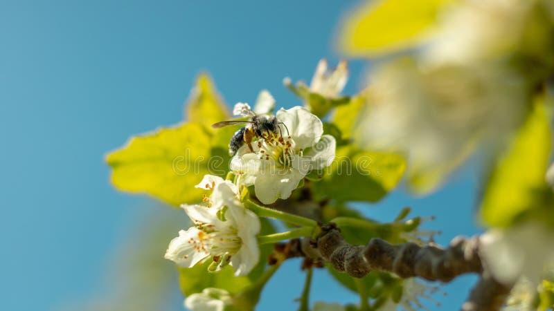 Ett bi eller en geting flyger nära ett blommaträd Krypet pollinerar körsbär- och äppleblommor arkivfoto