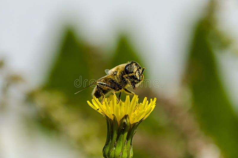 Ett bi gör sig ren royaltyfri fotografi