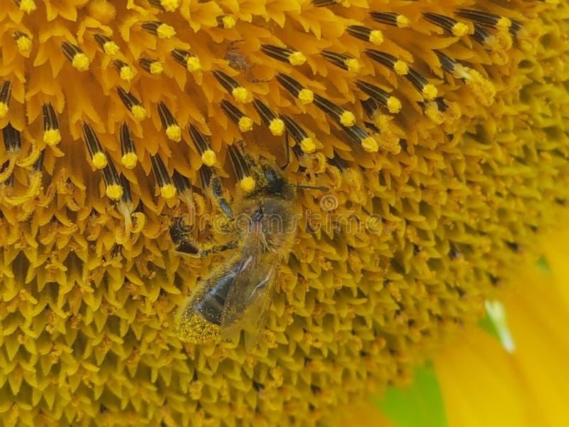 Ett bi i en solros arkivfoto