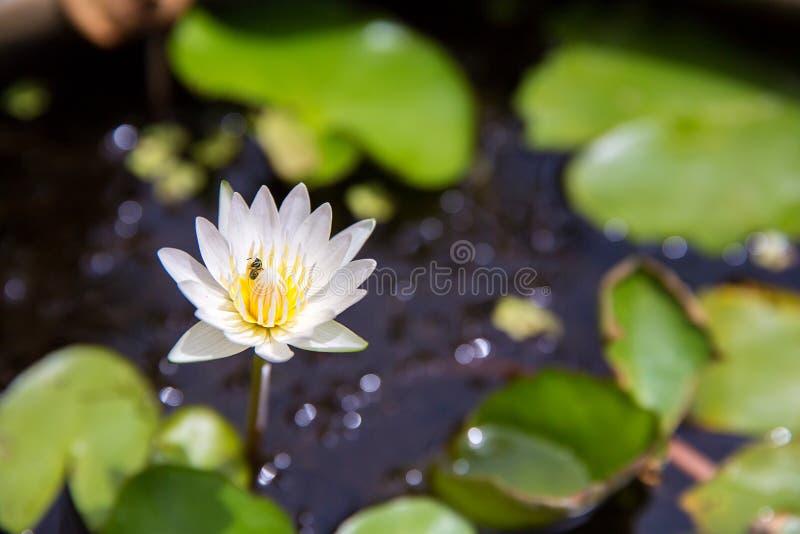 Ett bi i vit lotusblomma, litet bi i carpel Härliga vita Lotus Blossom fotografering för bildbyråer