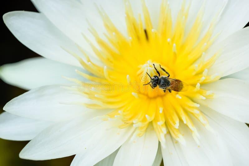Ett bi i vit waterlilly arkivbilder