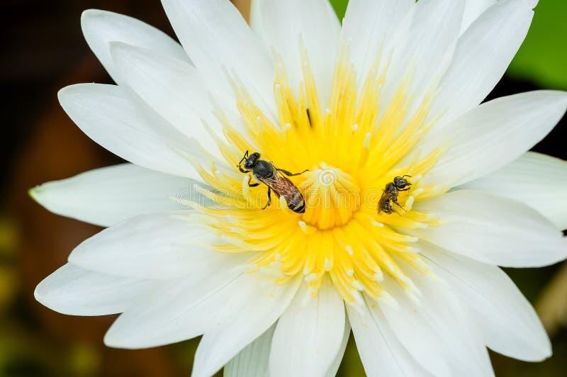 Ett bi i vit waterlilly arkivfoto