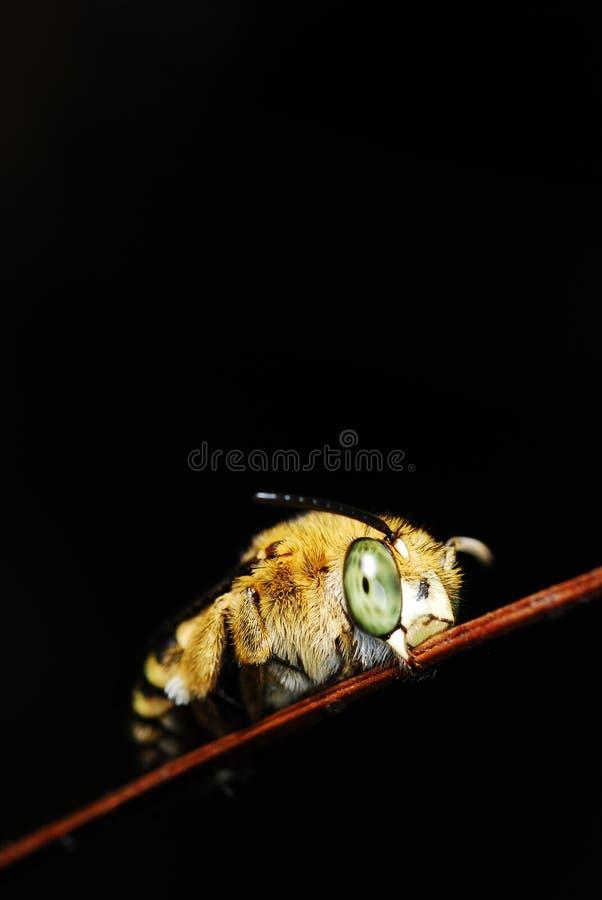 Download Ett Bi Med Yellow Görar Randig Tummyen Arkivfoto - Bild av clear, lampa: 27277750