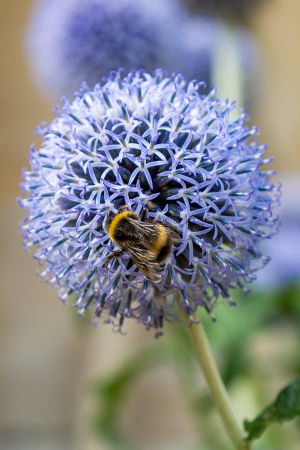 Ett bi på en blomma fotografering för bildbyråer
