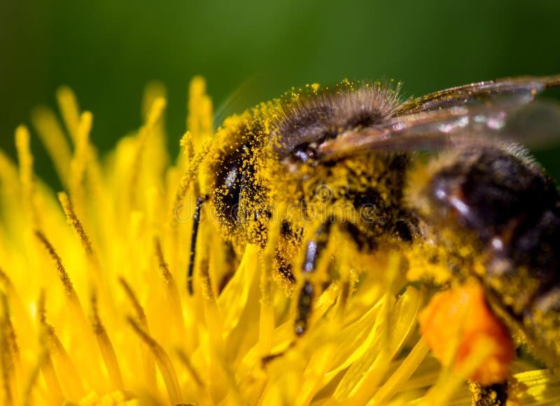 Ett bi på en blomma i pollen royaltyfri foto