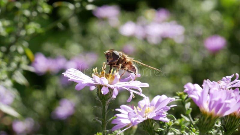 Ett bi på en blomma i trädgården royaltyfria bilder