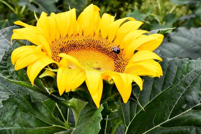 Ett bi på en blommande solros, jaspis, Georgia, USA arkivbild