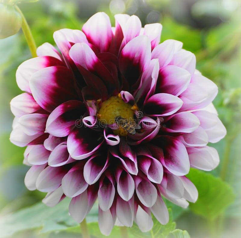 Ett bi på en dahliablomma arkivfoto