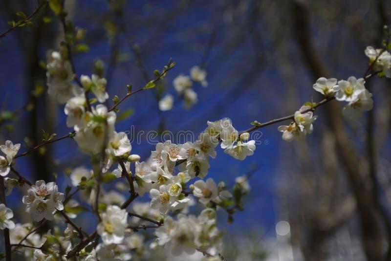 Ett bi på körsbärsröda blomningar arkivbild