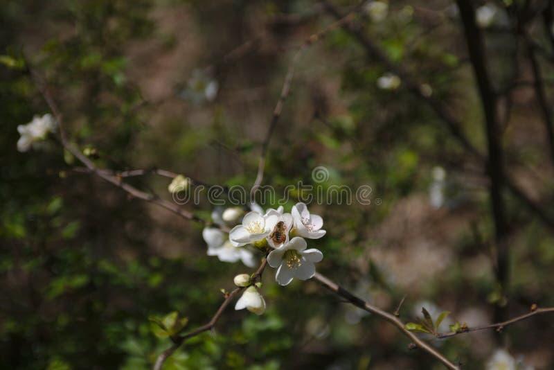 Ett bi på körsbärsröda blomningar royaltyfri foto