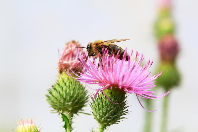 Ett bi som samlar nektar från en tistel royaltyfri fotografi