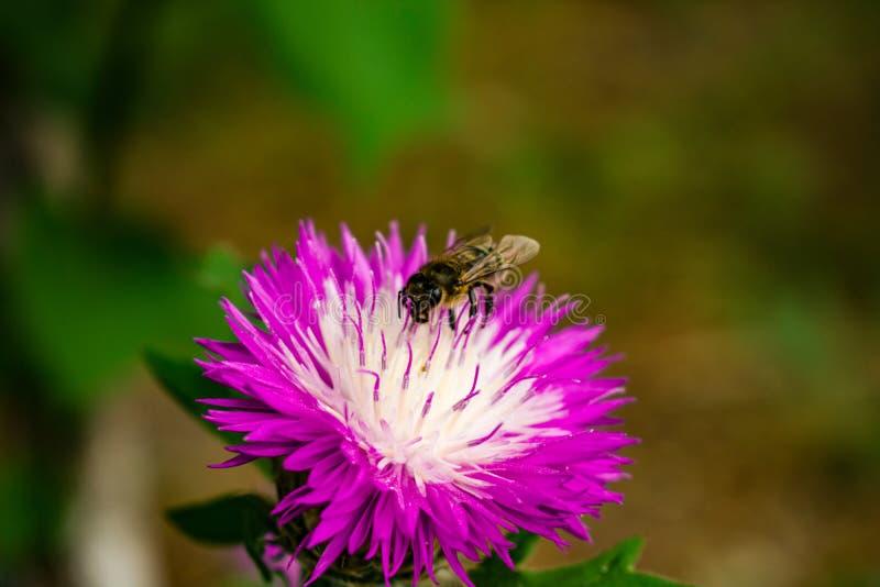 Ett bi som samlar nektar med den härliga våren, blommar En lila royaltyfri foto