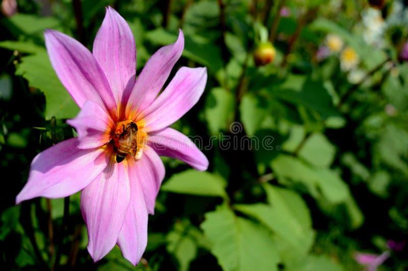 Ett bi som suger nektaret arkivbild