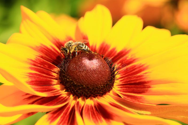 Ett bi vilar på en ljus apelsin och en röd blomma arkivbild