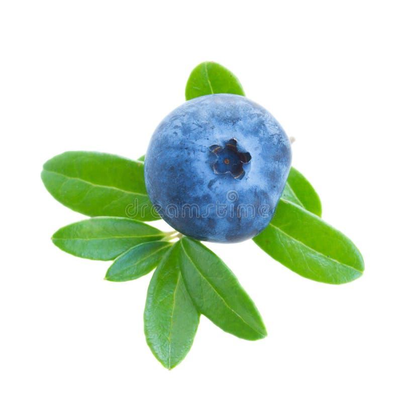 Ett blåbär royaltyfria foton