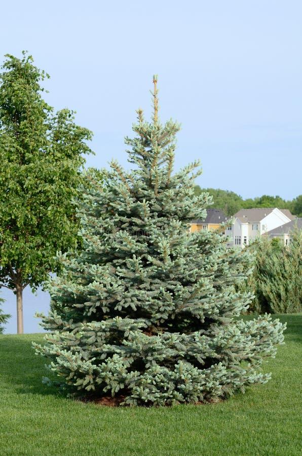 Ett blått prydligt träd royaltyfri bild