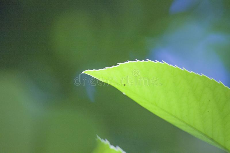 Ett blad med mjuka gröna sidor lämnar en växtblomma arkivbild