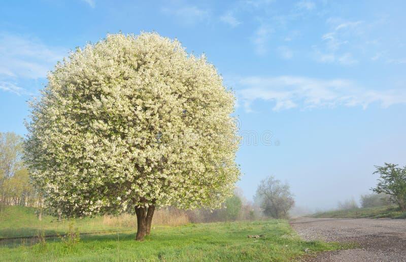 Ett blommande körsbärsrött träd fotografering för bildbyråer