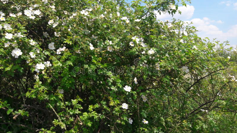 Ett blommaträd arkivfoton
