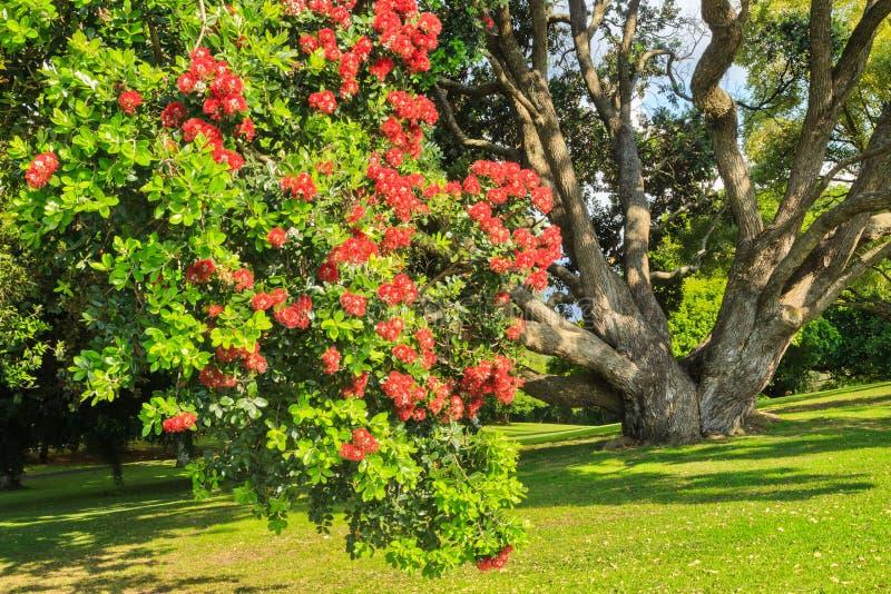 Ett blomstra pohutukawaträd, också som är bekant som en nyazeeländsk julgran arkivfoto