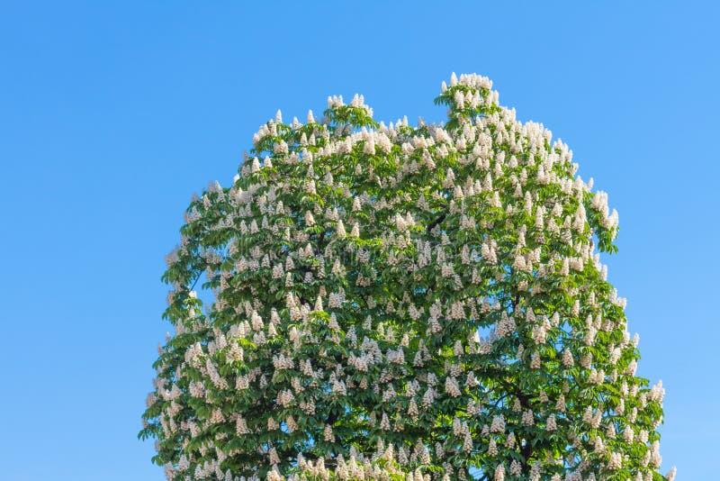 Ett blomstra träd med en kastanj mot den blåa himlen arkivbild