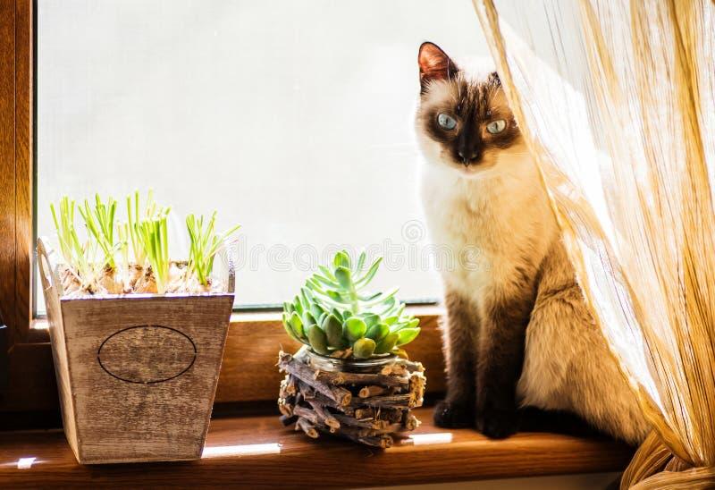 Ett blygt sammanträde för siamese katt på fönsterkanten arkivfoto