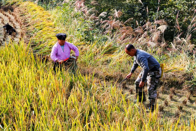 Ett bondepar från den Zhaung person som tillhör en etnisk minoritet skördar ris, Kina fotografering för bildbyråer