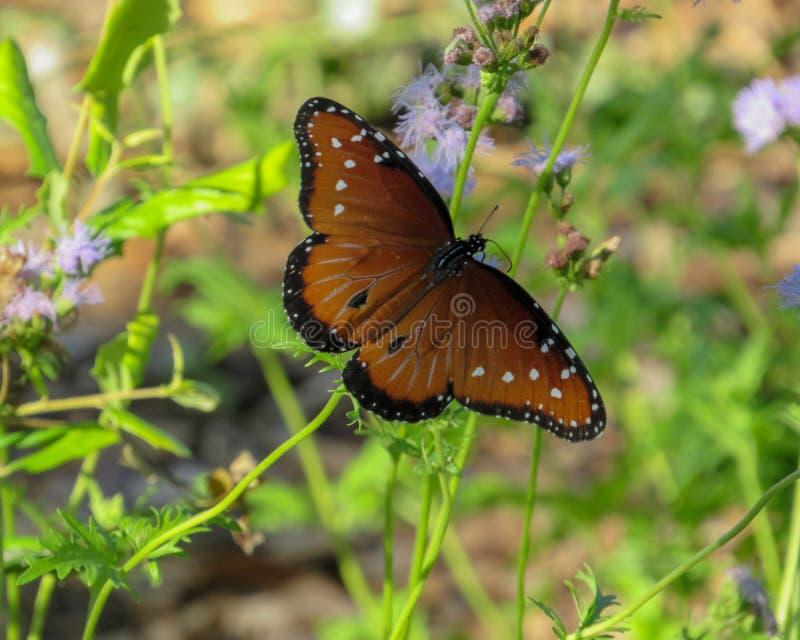 Ett brunt och vitt för fjäril slut upp royaltyfri foto