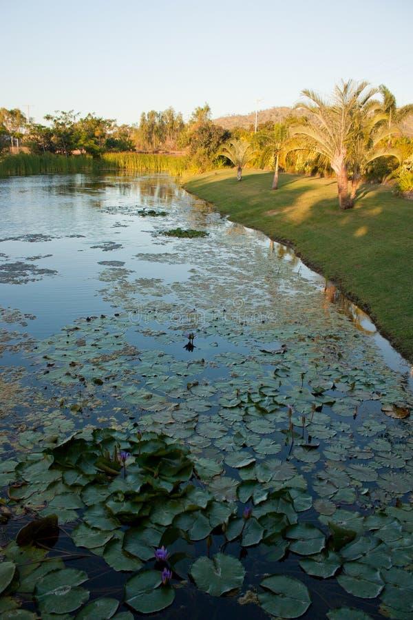 Ett damm med palmträd på kusten och näckrors i vattnet i tropiska Queensland royaltyfri bild