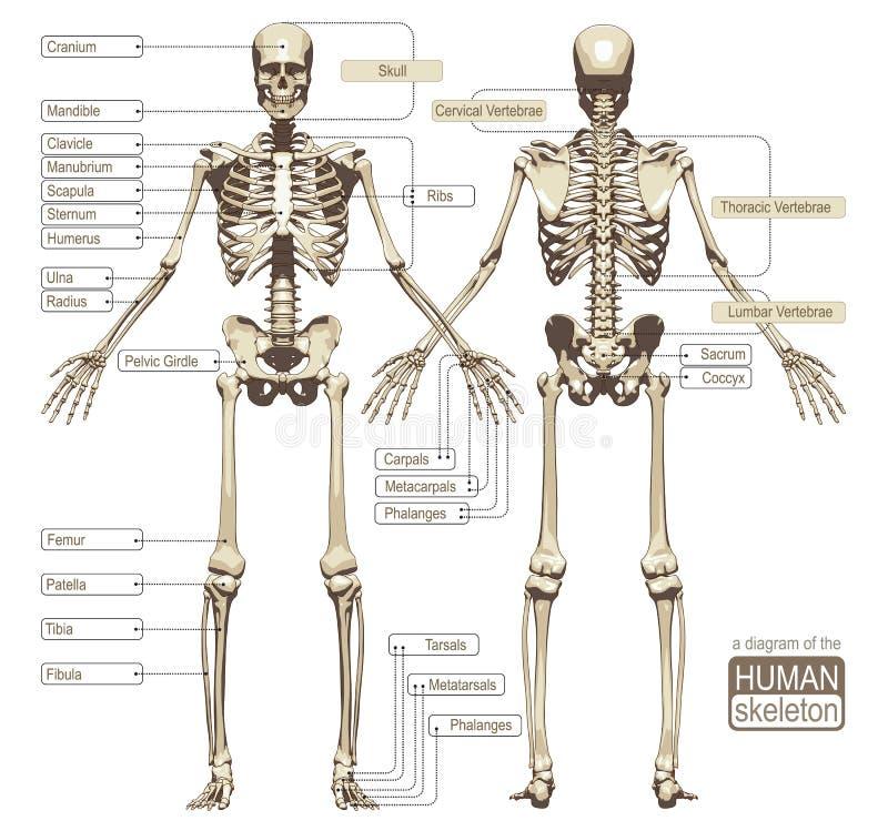 Ett diagram av det mänskliga skelettet stock illustrationer