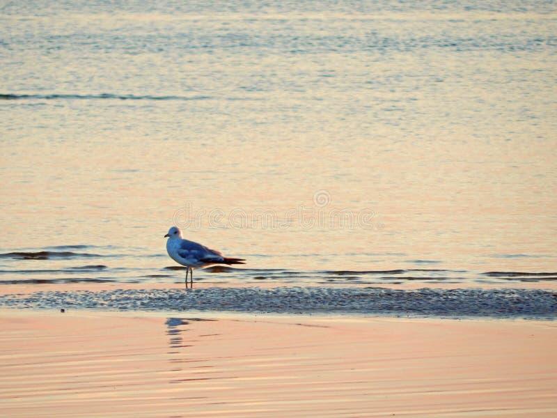 Ett drömlikt seagullanseende i grunt havsvatten arkivfoto