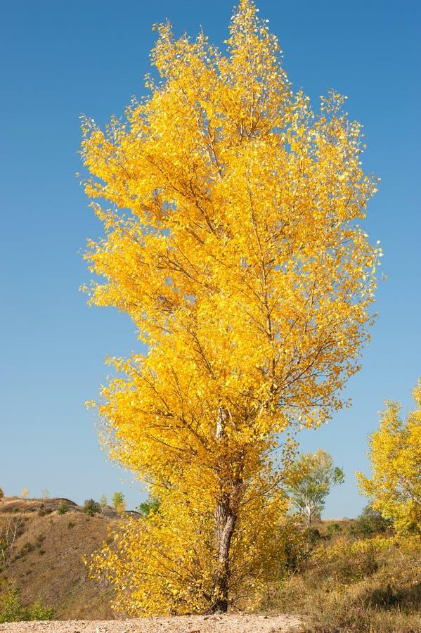 Ett enkelt höstbjörkträd arkivfoton