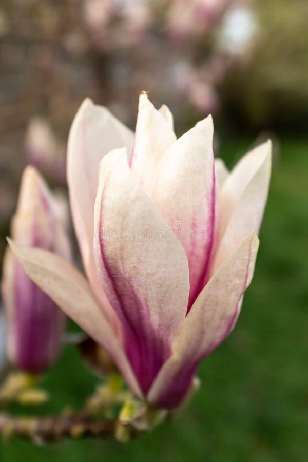 Ett enkelt huvud för magnoliatillfredsställelseblomma, latinsk tillfredsställelse för soulangeana för namnmagnolia x, ståendeaspe arkivfoton