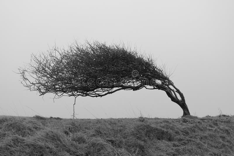 Ett enkelt vridet träd som ridas ut av starka kust- vindar royaltyfri foto