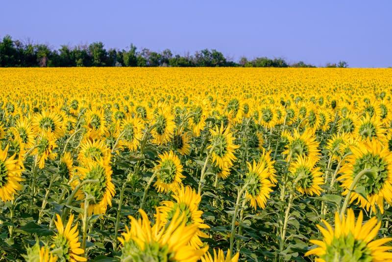 Ett enormt fält med solrosor som vänds i väg från inställningssolen mot en molnfri blå himmel royaltyfria bilder