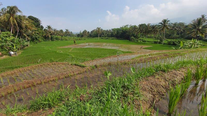 Ett enormt ricefield i trädgården royaltyfria foton