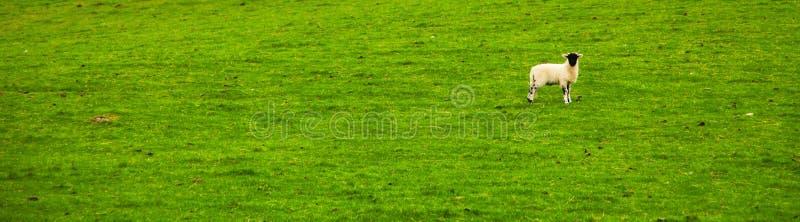 Ett ensamt får i gräs royaltyfri foto