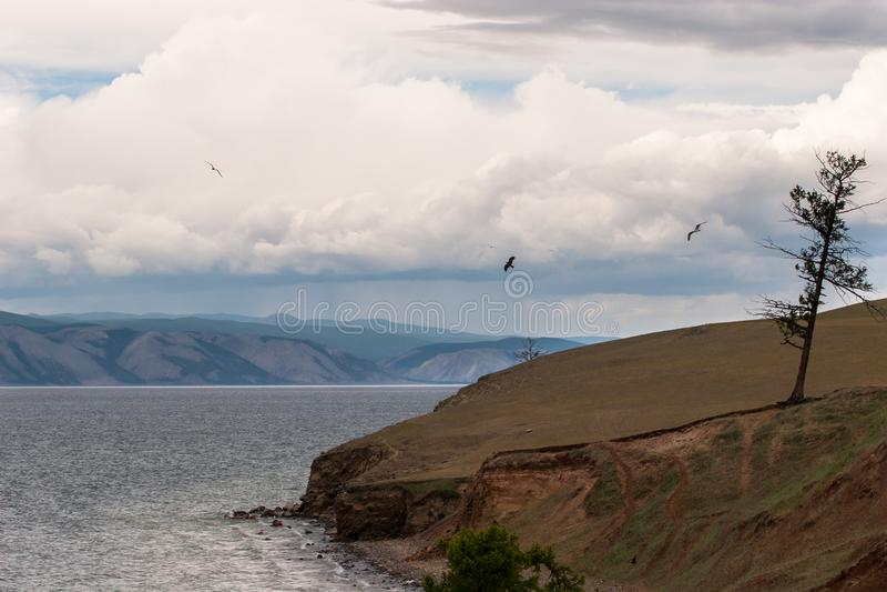 Ett ensamt gammalt torrt träd står på kusten av Lake Baikal Fåglar flyger seagulls royaltyfri foto