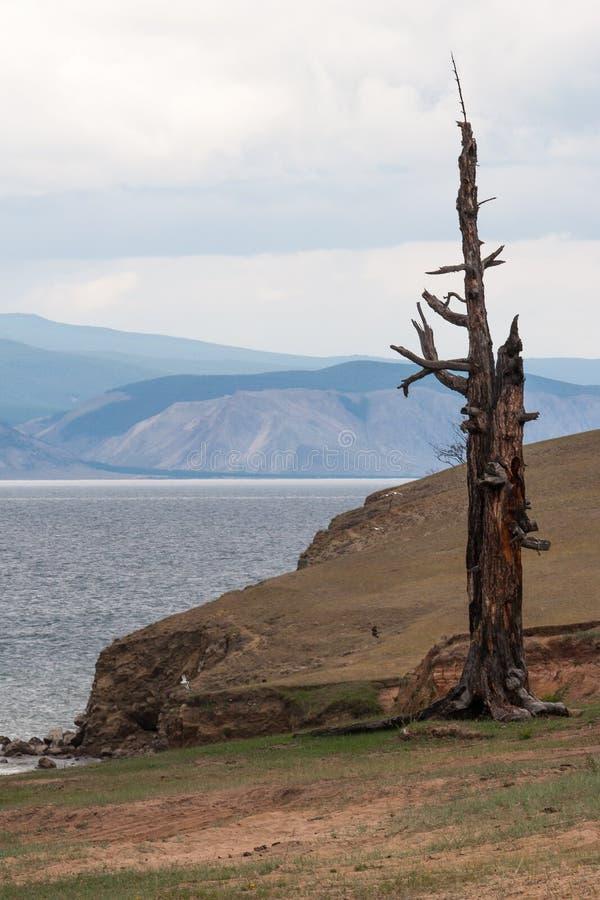 Ett ensamt gammalt torrt träd står på kusten av sjön Lodlinjen inramar royaltyfri bild