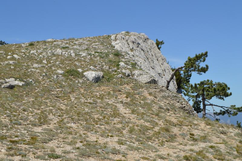 Ett ensamt sörjer trädet med en buktig stam på en bergssida, mot en blå himmel royaltyfri bild