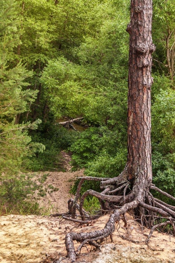 Ett ensamt sörjer trädet med härliga hästar står på en klippa på bakgrunden av en grön skog arkivbild
