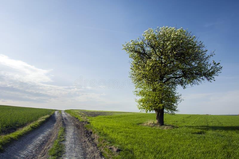 Ett ensamt stort och blommande träd vid fältvägen arkivfoton