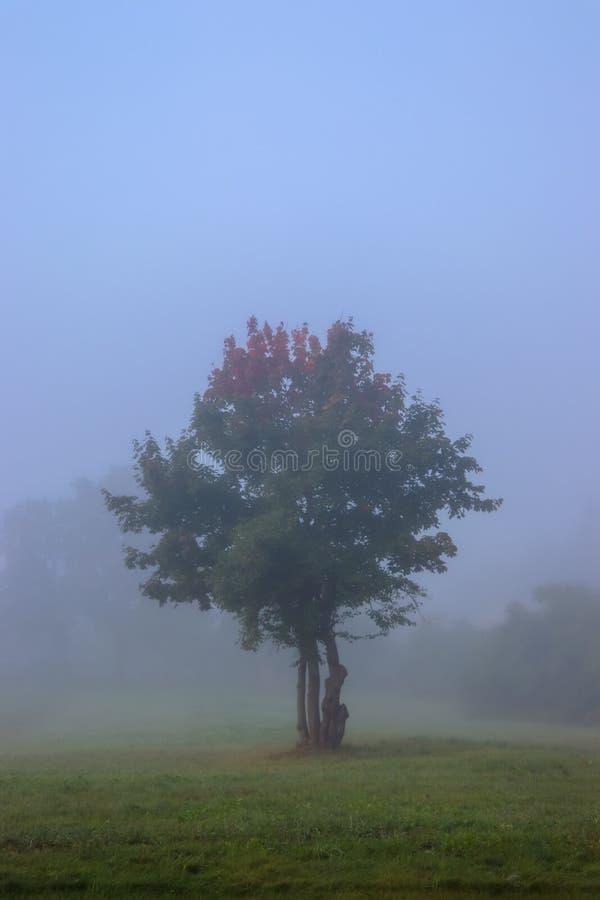 Ett ensamt träd i dimman arkivbild