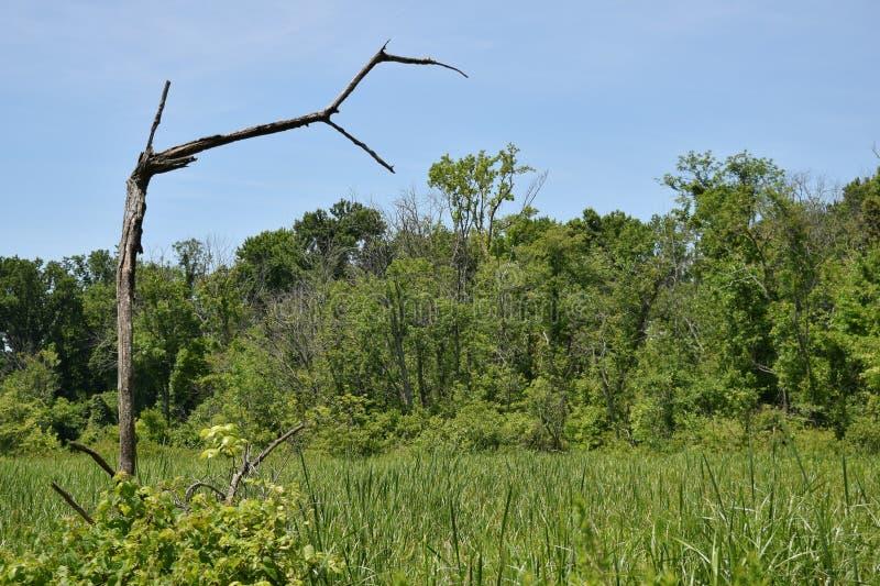 Ett ensligt brutet träd hänger över ett träsk av gröna vasser under en blå himmel arkivfoton